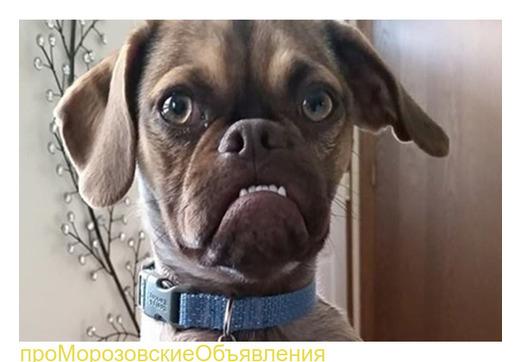 Продам умного пса (ПРИМЕР Объявления)